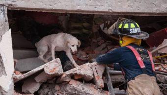 caninos de la unam rescatan vidas tras sismo