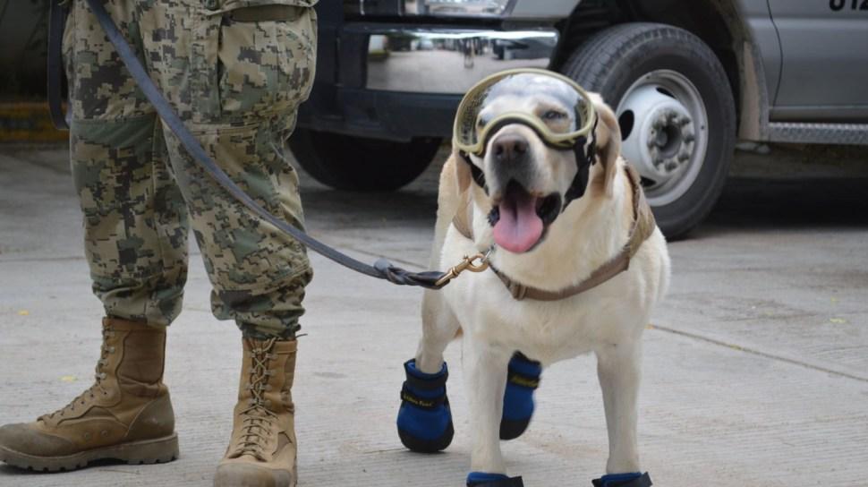 'Frida', una perrita labrador que ha participado en decenas de operativos para rescatar personas