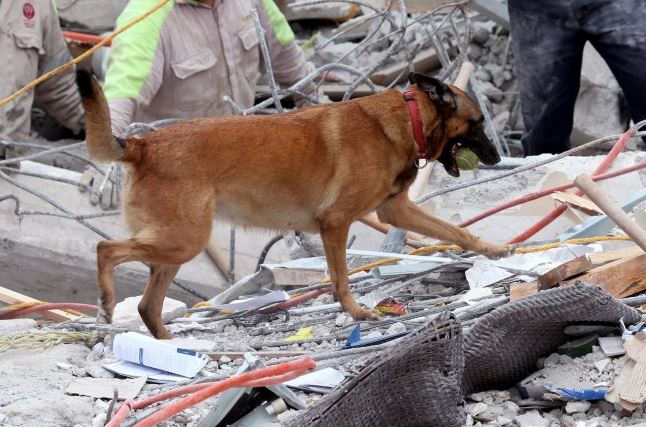 Binomials canines involved in rescue work after earthquake - News Telecast 2