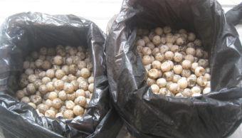 profepa realiza peritaje a huevos de tortugas en colima