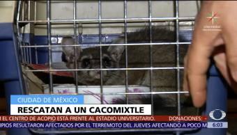 Rescatan, cacomixtle, Coyoacán, CDMX