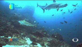 Por el Planeta: Tiburón martillo, emblema de Isla del Coco