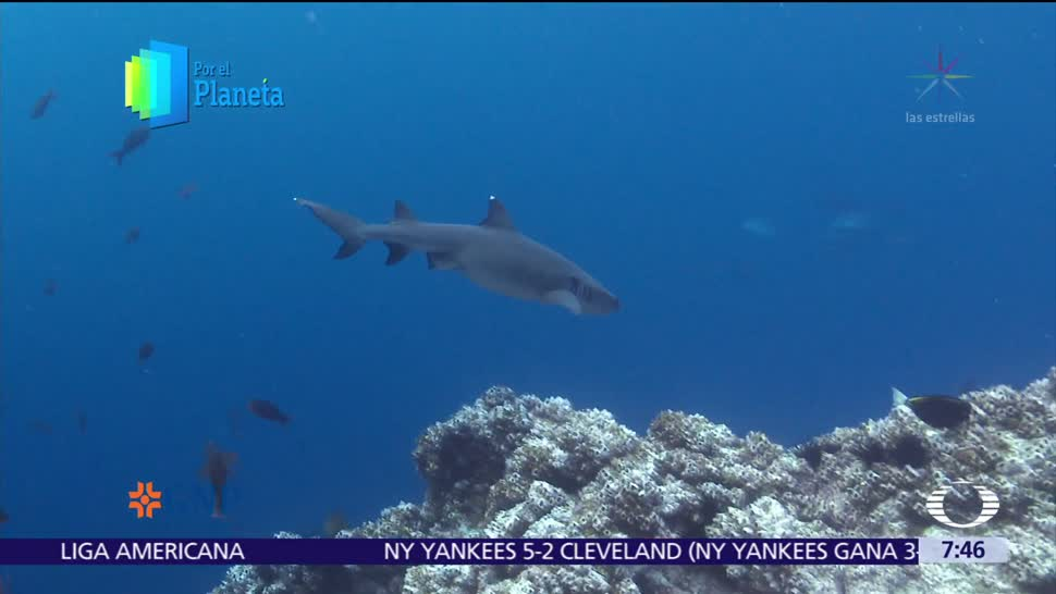 Tiburones punta blanca, depredadores de la Isla del Coco