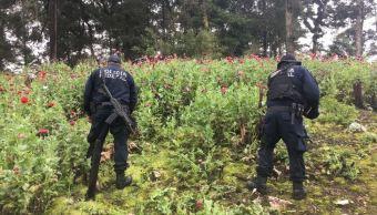 destruyen plantios de amapola en guerrero