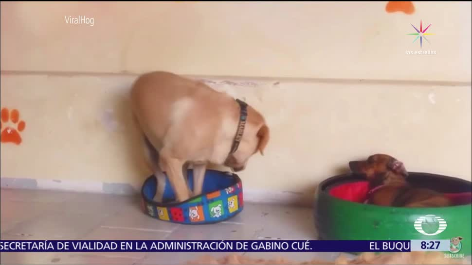 Golden retriever intentar recostarse en cama de perro salchicha