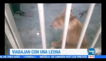 Extra Extra: Detienen a dos hombres que viajaban con una leona en Tijuana