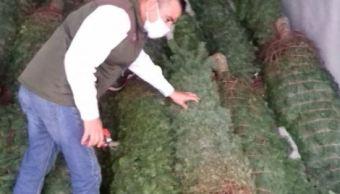 Profepa asegura árboles de Navidad con plaga forestal en Tamaulipas