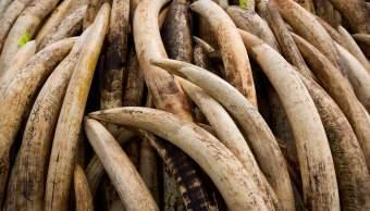 Contrabando de colmillos de elefante en África