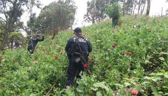 policia federal plantios amapola guerrero destruye