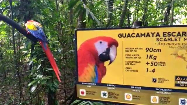 Liberan 11 guacamayas criadas en cautiverio en Palenque, Chiapas