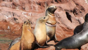 Liberan a tres lobos marinos atrapados en mallas de pesca en BCS