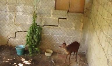 La Profepa reintegra a su hábitat a un ejemplar de venado tras ser rescatado en un domicilio ubicado en la cabecera municipal de Calnali, Hidalgo. (Sitio oficial/Profepa)