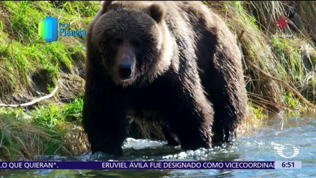 Gigantes de Alaska: el oso Kodiak