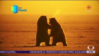 Gigantes de Alaska: Osos polares, amenazados por cambio climático