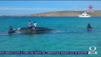 Rescatan a ballena varada en Bahía de La Paz, Baja California Sur