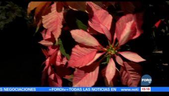 Xochimilco, pionero en la producción de la flor de nochebuena