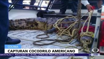 Capturan en Manzanillo a un cocodrilo americano de tres metros