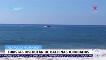 Ballenas jorobadas son vistas frente a las playas de Acapulco