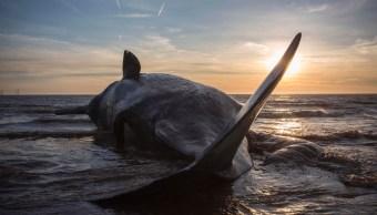 ballenas-humanos-extinsion-animal-mas-grande-del-mundo