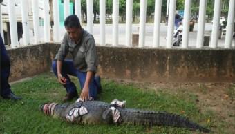 cocodrilo deambula por parque la polvora en villahermosa