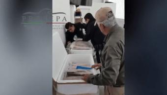 Decomisan más de cien filetes de Totoaba en Tijuana, Baja California