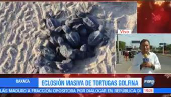 Eclosión Masiva Tortugas Golfina Oaxaca Escobilla Puerto Escondido