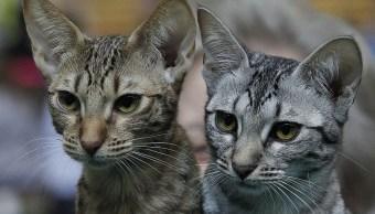 Hombre vivía con 166 gatos vivos y otros 55 muertos