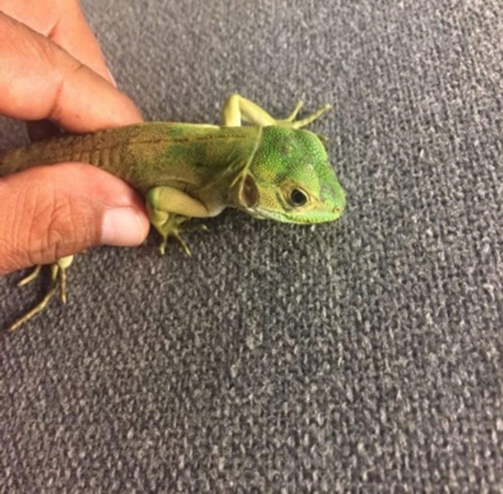 Libera Profepa a una iguana negra en Guerrero