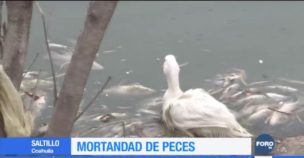 Mueren cientos de peces en lago de Saltillo, Coahuila