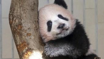 Bebé panda Xiang Xiang hace su primera aparición en Tokio. (AP)