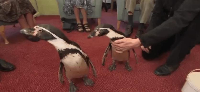 Pingüinos apoyan terapia en asilos de ancianos de Oxford, Reino Unido