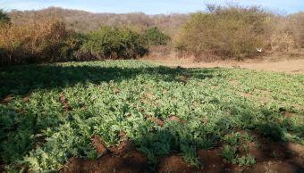Aseguran 5 plantíos de amapola en Mocorito, Sinaloa