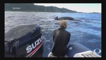 Ballena trata de proteger a una bióloga de un tiburón