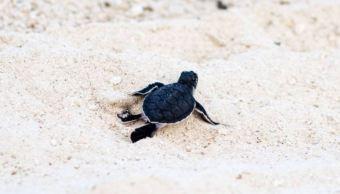 Campamento tortuguero de Isla del Carmen rompe récord