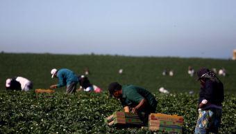 Campesinos campechanos trabajarán en Canadá durante ocho meses