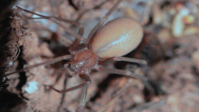 Descubren en Puebla nueva especie de la araña violinista
