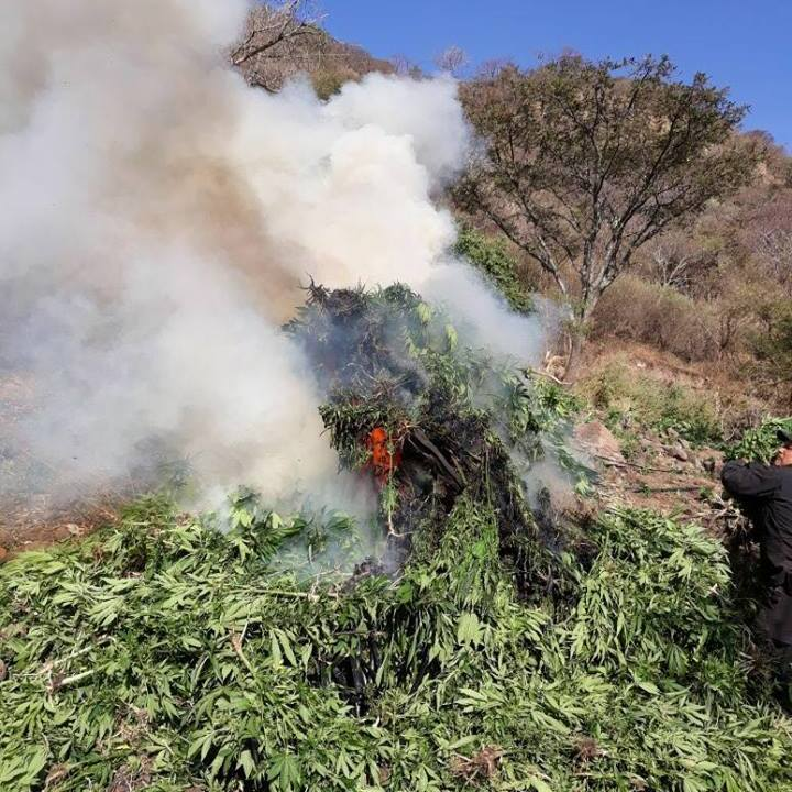 Fuerza Única de Jalisco destruye 72 mil plantas de marihuana