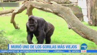 Extra Extra: Muere uno de los gorilas más viejos