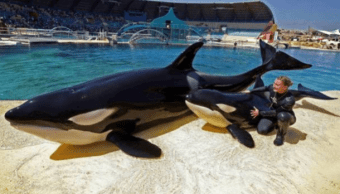 Las orcas Wikie y Moana con su entrenadora