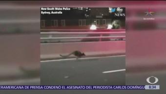 Policías intentan atrapar a un ualabí en Sídney