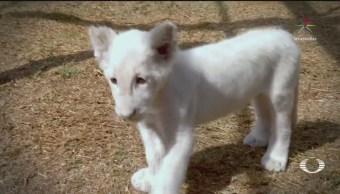 Presentan león blanco nacido en zoológico de Tlaxcala