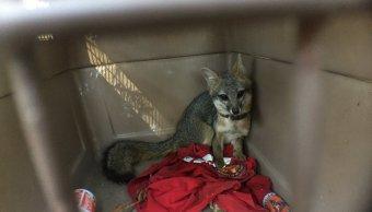 Reintegra Profepa en su hábitat a un zorro gris