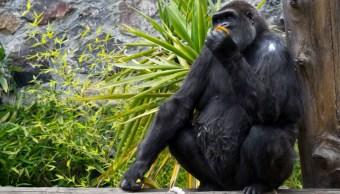 muere gorila 'arila' en parque ecológico zacango, en el estado de mexico