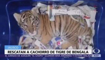 Binomio canino descubre a tigre cachorro en empresa de paquetería