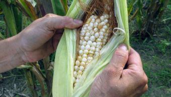 Prevén buena cosecha de maíz para este año en Veracruz. (Gettyimages)