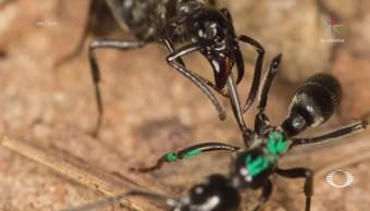 Hormigas de África curan heridas de sus compañerasHormigas de África curan heridas de sus compañeras