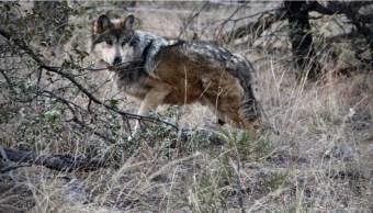Liberan cinco ejemplares de lobo mexicano en Chihuahua