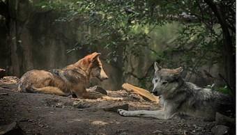 Llegan 9 ejemplares de lobo mexicano a zoológico de León, Guanajuato