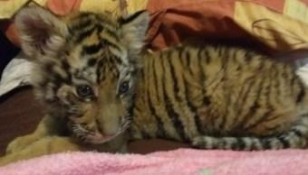 profepa cachorro tigre nayarit bengala tepic