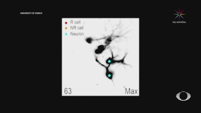 Regeneración de neuronas en ratones vivos
